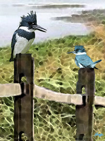 Belted Kingfisher 2 (Ceryle alcyon)