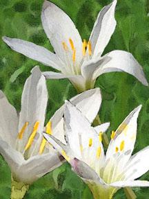 zephyranthes_atamasca